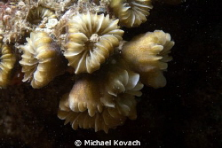 Smooth Flower Coral on the Big Coral Knoll off the beach ... by Michael Kovach 
